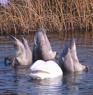 Trumpeter Swans, bottoms up.