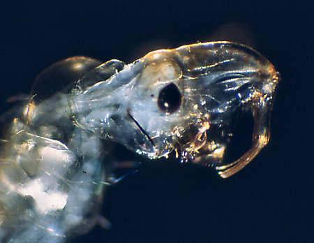 Chaoborus larva