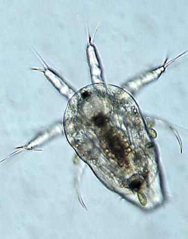 Nauplius, larva of a copepod