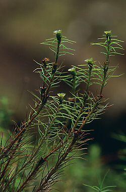 Polytrichastrum alpinum